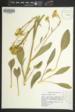 Image of Stroganowia tiehmii