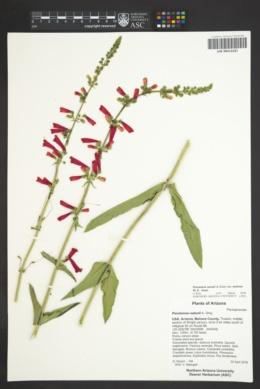 Penstemon eatonii subsp. undosus image