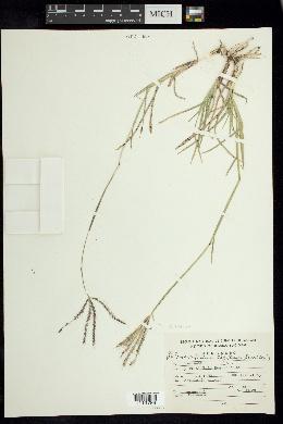 Chloris rufescens image