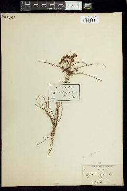 Image of Cyperus grayii