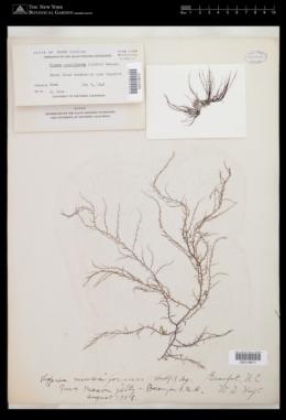 Hypnea musciformis image