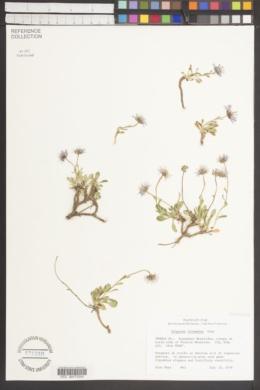 Erigeron leiomerus image