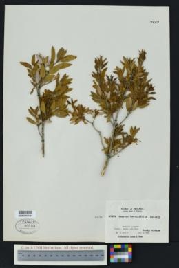 Image of Quercus vaccinifolia