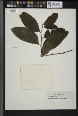 Image of Nectandra patens