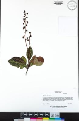 Pyrola picta image