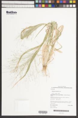 Image of Panicum schinzii