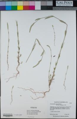 Crucianella angustifolia image