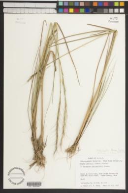 Image of Elymus gmelinii