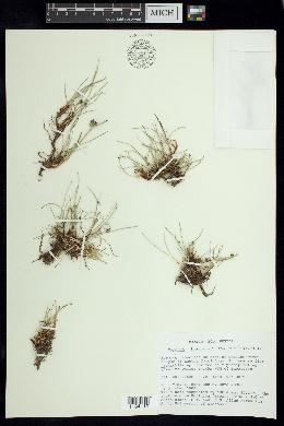Cyperus laevigatus image