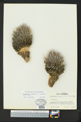 Image of Coryphantha nickelsiae