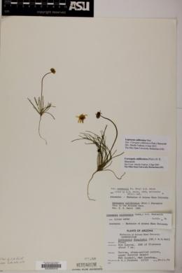 Coreopsis californica image