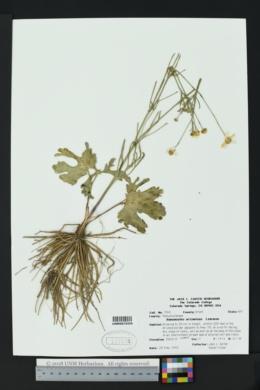 Ranunculus arizonicus image