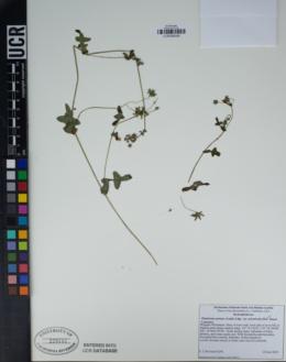 Pholistoma auritum var. arizonicum image