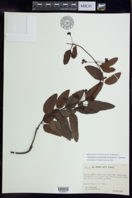 Image of Stigmaphyllon gymnopodum