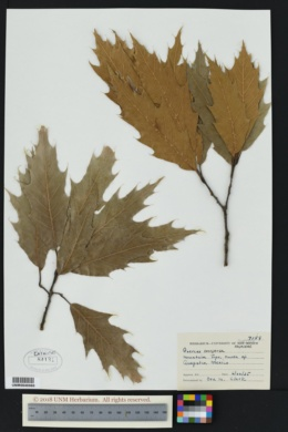 Image of Quercus conspersa