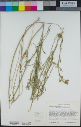 Image of Baccharis malibuensis