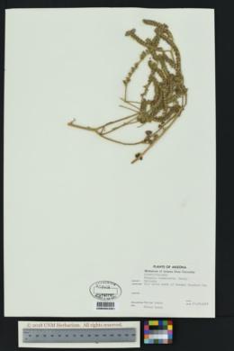 Phacelia ramosissima image