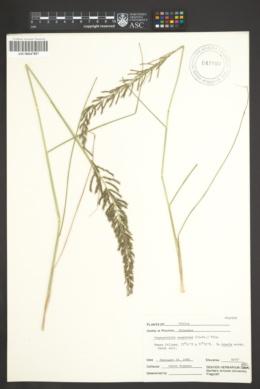 Pogonarthria squarrosa image