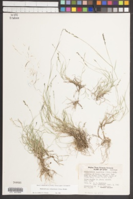 Muhlenbergia richardsonis image