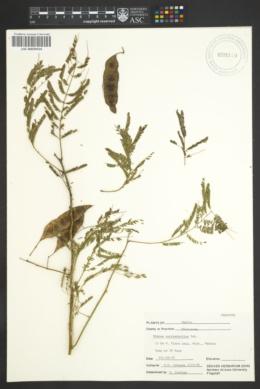 Image of Mimosa eurycarpoides