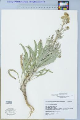 Packera cynthioides image