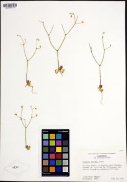 Acanthoscyphus parishii image