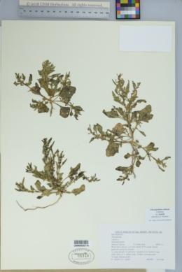 Chenopodium rubrum var. humile image