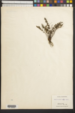 Myriopteris viscida image