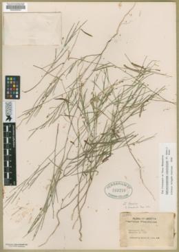 Sphinctospermum constrictum image