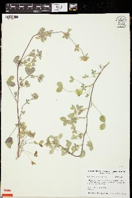 Trifolium constantinopolitanum image