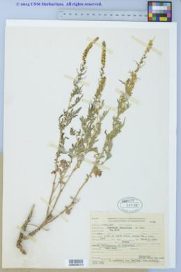 Image of Ambrosia tenuifolia