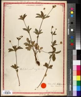 Image of Callionia simplex