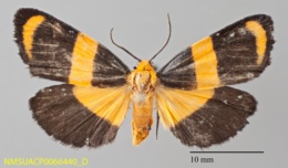 Eudesmia arida image