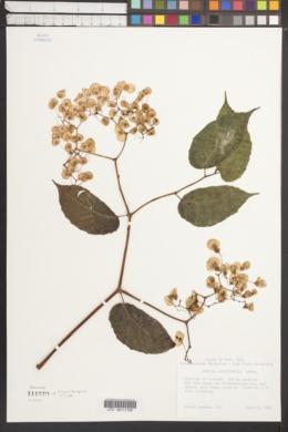 Begonia carpinifolia image