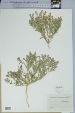 Lepidium lasiocarpum var. wrightii image