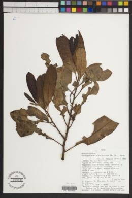 Image of Osteophloeum platyspermum