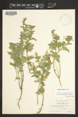 Image of Verbena elegans