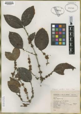 Image of Eugenia alnifolia
