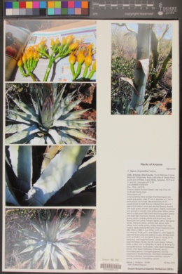 Agave chrysantha image