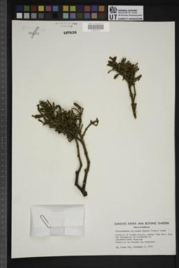 Phoradendron bolleanum image