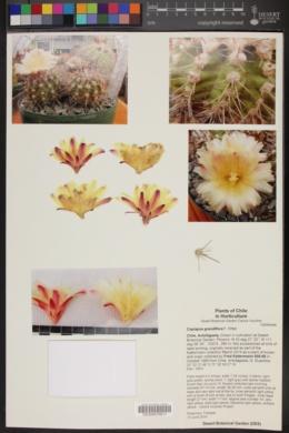 Image of Copiapoa grandiflora
