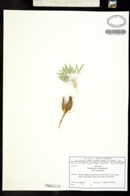 Image of Pediomelum hypogaeum