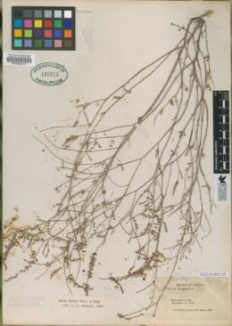 Dalea angulata image