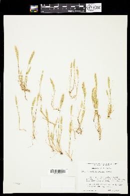 Image of Agrostis kennedyana