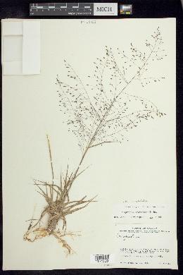Eragrostis polytricha image