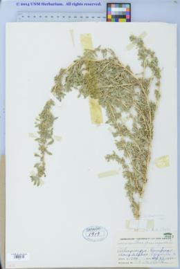 Amaranthus albus image