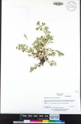 Nemophila pedunculata image