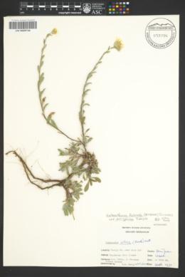 Heterotheca fulcrata var. arizonica image