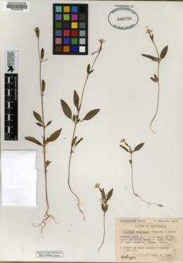 Clarkia stellata image