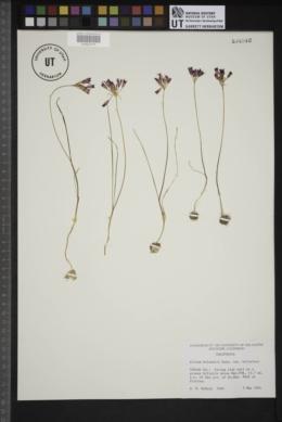 Allium bolanderi image